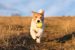 Playful happy pet dog puppy running in the grass and playing with a tennis ball