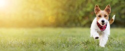 Playful happy smiling funny cute pet dog puppy walking in the grass, summer concept. Web banner, copy space.