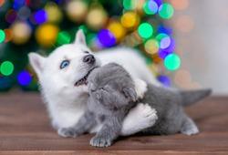 Playful husky puppy hugs gray kitten on a background of the Christmas tree