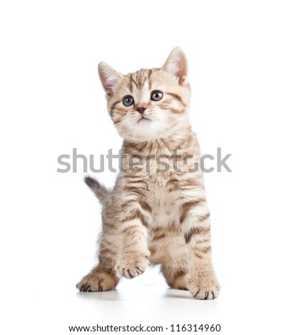 playful kitten cat isolated on white