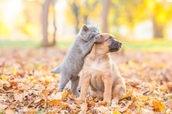 playful kitten playing with puppy on fallen autumn leaves at sunset