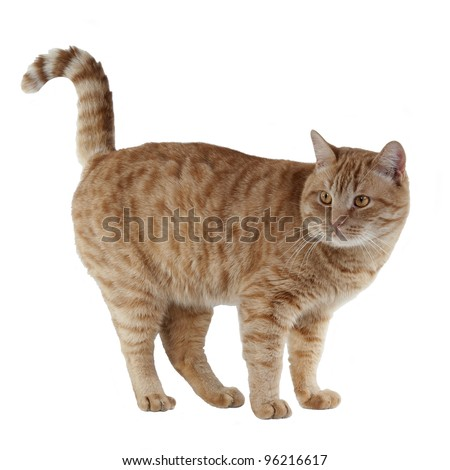 Playful kitten with tail up - stock photo