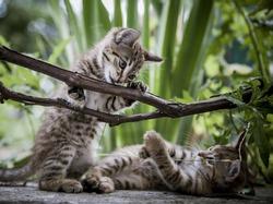 Playful kittens in a bush vine.