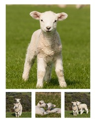 playful lambs collage. lambs collection. curious lamb. lambs resting on meadow.