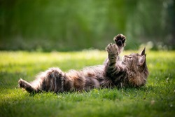 playful maine coon cat lying on back on grass raising both paws