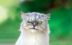 Playful persian chinchilla kitten with beautiful green eyes. Close up.