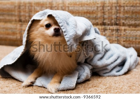 Playful Pomeranian playing peek-a-boo from under a terrycloth towel.