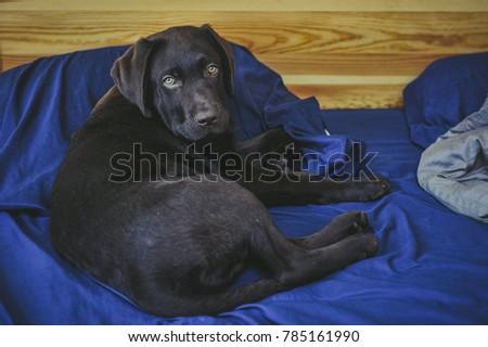Playful Puppy chocolate Labrador Retriever puppy #785161990