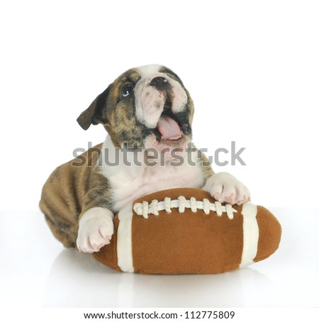 playful puppy - english bulldog puppy with football isolated on white background