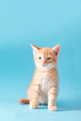 Playful red ginger kitten on a blue background isolated