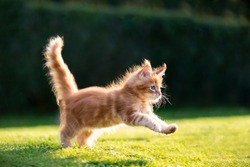 playful red ginger tabby maine coon kitten running on grass outdoors in sunlight