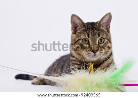 Playful tabby tiger striped cat with feathers