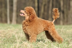 Playful Toy poodle puppy posing on green grass