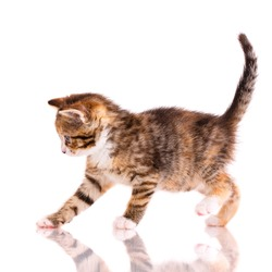 Playful tricolor kitten on a white background. Playful tricolor kitten on a white background. Pets concept.