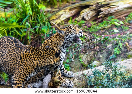 Playful young beautiful jaguars in the jungle #169098044