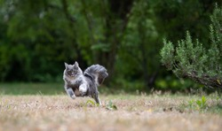 playful young blue tabby maine coon cat with white paws and extremely fluffy tail running towards camera jumping outdoors in nature next to a rosemary bush on dried up grass
