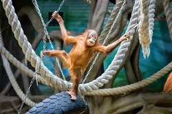Playful young Bornean orangutan at the zoo