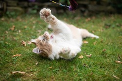 playful young cream tabby white ginger maine coon cat lying on side on grass outdoors in the garden playing looking up catching feather toy