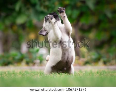 playfull pug puppy #1067171276