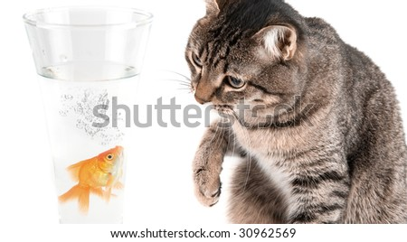 Playing cat and gold fish at glass isolated on white