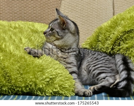 Playing cat on a sofa, small playing cat, playing cat close up in green blur warm light background, animals, domestic cat, cat playing on day time, cat in apartment