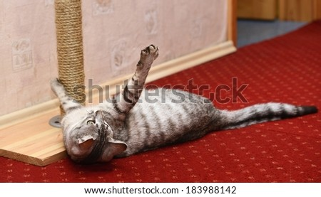 Playing cat on domestic background, curious cat, domestic cat, little cat playing in apartment, funny cat, cat at home