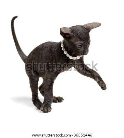 playing cornish rex kitten isolated on white