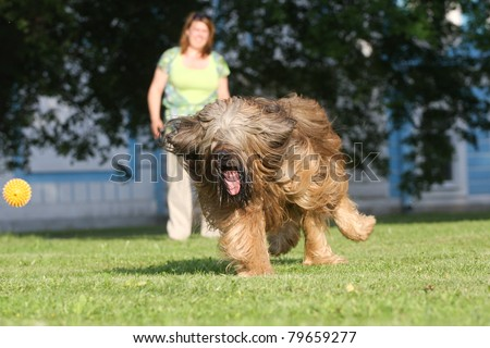 Playing dog, french shepherd briard #79659277