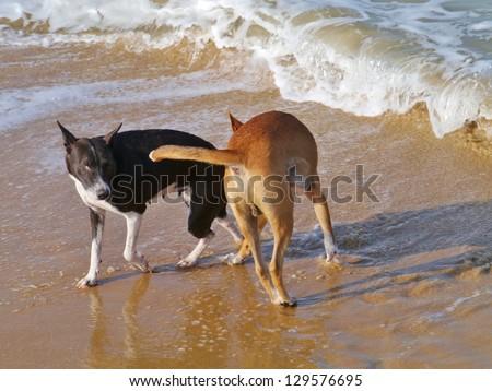 Playing dogs on the sand beach of Sri Lanka