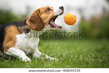 Playing fetch with agile Beagle dog #408245539