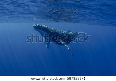 Playing humpback whale calf