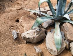 Playing meerkats on sand between rocks. Mongoose. Suricat suricatta in Zoo. Cute animal.