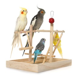 playing parakeet and Cockatiel