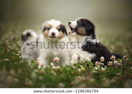 Playing puppies. Puppies are playing in nature. Australian shepherd puppies.  #1288386784