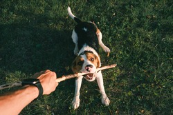 Playing with a beagle dog with stick, first person perspective. Human hand holding stick and happy puppy on the grass, wide angle point of view shot