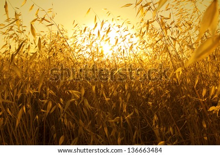 pleasant fire sunset back lighting through dry plants / cereals like plants creating a warm orange atmosphere