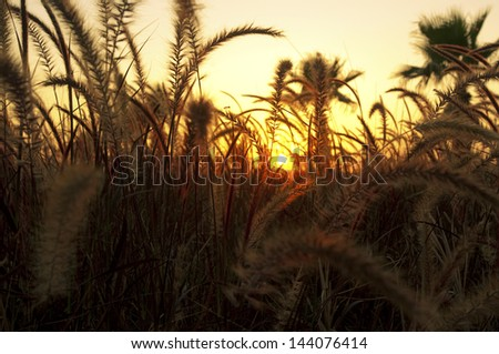 pleasant fire sunset sun back lighting through dry plants / cereals like plants creating a warm orange atmosphere