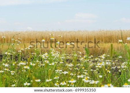 Pleasantly aromatic hardy weeds annuals Matricaria, Chamomile , mayweed, growing along roadsides of rye field. Flowering plants of summer #699935350