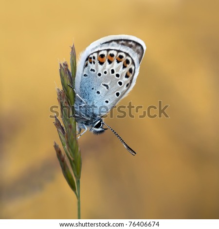 Plebejus Argus with a beautiful background