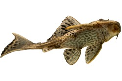 Pleco fish  isolated on white backgroun, cleaner fish