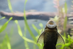 Pleco mouth sticking to the glass