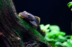 Plecos are well-known algae eaters that originated in the rivers of the Amazon jungle in South America. Plecos attach themselves to hard surfaces with specially adapted mouth parts. They are scavenger