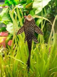 Plecostomus punctatus feeding vertically on aquarium glass