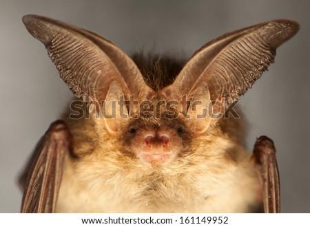 Plecotus auritus - stock photo