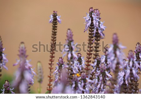 Plectranthus neochilus, lobster bush, fly bush, or mosquito bush, Sage flowers. Blooming of the Plectranthus neochilus field. #1362843140