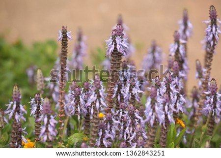 Plectranthus neochilus, lobster bush, fly bush, or mosquito bush, Sage flowers. Blooming of the Plectranthus neochilus field. #1362843251