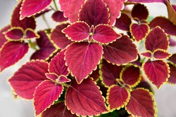 Plectranthus scutellarioides, coleus or Miyana or Miana leaves or in latin Coleus Scutellaricides, is a species of flowering plant in the family of Lamiaceae and one of a traditional herbs remedies