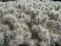 Plenty cactus plants with white spines. Thin cactus thorns create textured elegant stellar pattern. Natural plant and floral pattern. Natural white background. Selective focus