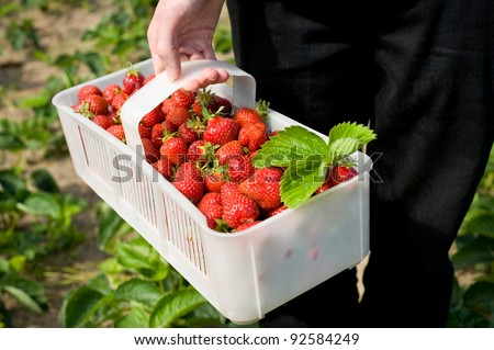 Plenty fresh ripe strawberries in white plastic punnet. Man picking fruits to plastic punnet, holding in one hand. Horizontal orientation, photo taken in yard in open air, sunny day.