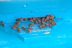 Plenty of bees at the entrance of beehive in apiary. Busy bees, close up view of the swarming bees on blue plank.
